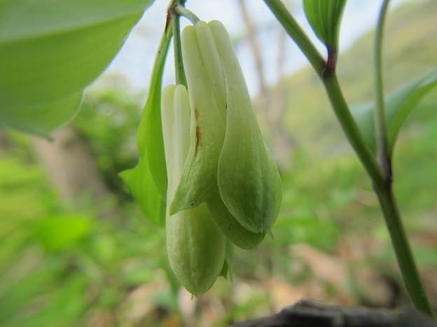 ホウチャクソウの花