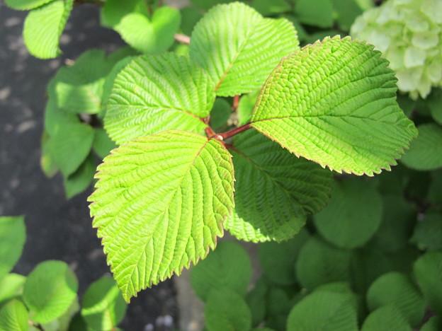 オオデマリの葉