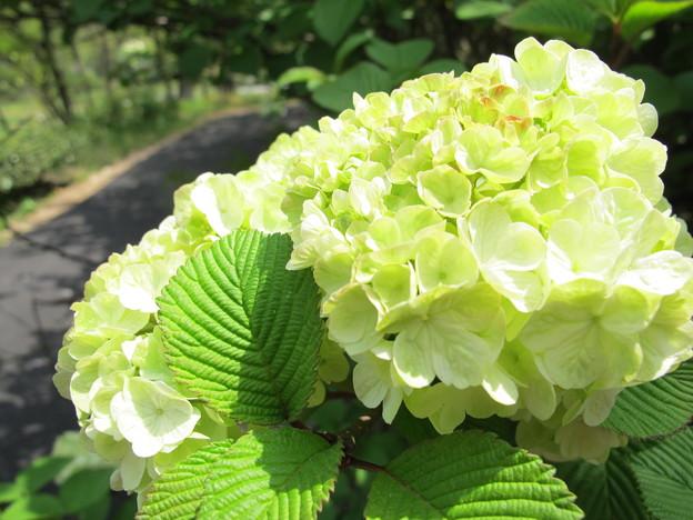 オオデマリの花2