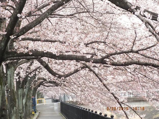 乞田川桜並木通り