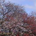 桃五分咲き