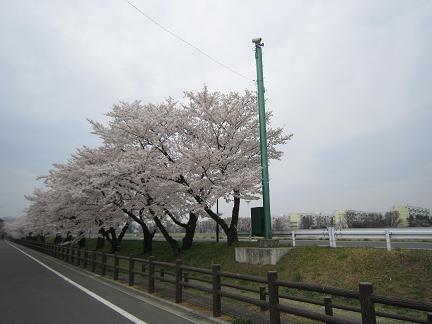 浅川土手の桜1