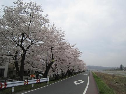 浅川土手の桜2