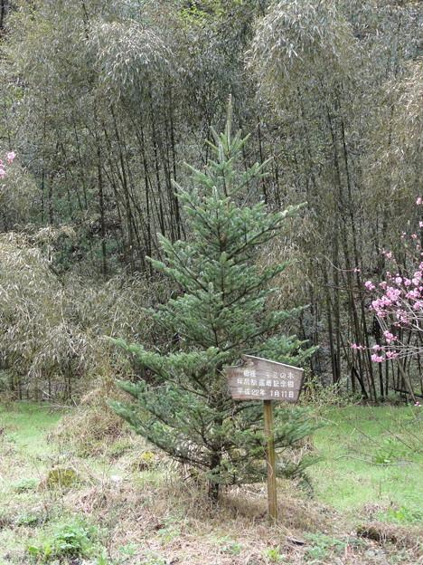 坪尻駅、モミの木