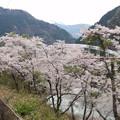 大歩危駅の桜