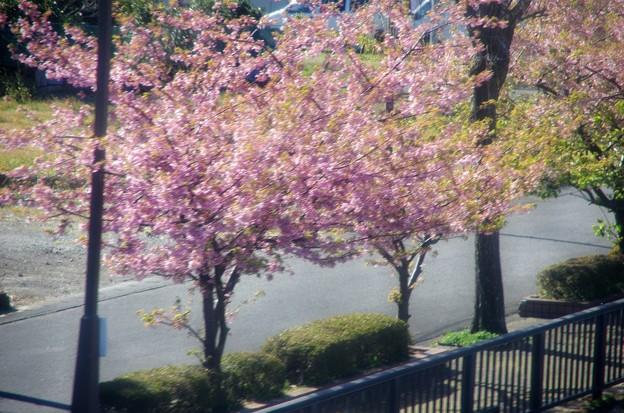 写真00026 河津桜ですが、終わりですね