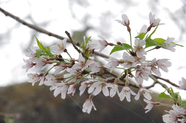写真00074 ソメイヨシノとは明らかに違う花