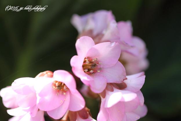 今朝の庭先ヒマラヤユキノシタ115_rs