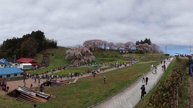 三春の滝桜全景