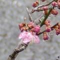 Photos: 3月19日「初咲きの紅梅」