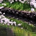 Photos: 誉桜