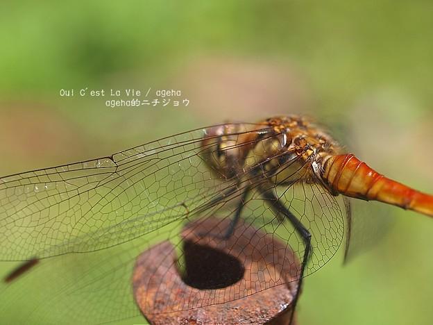 トンボの翅は翅脈多し。