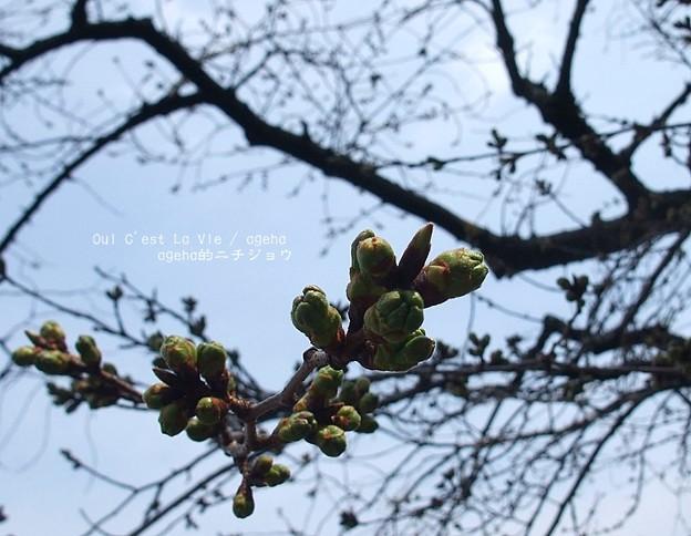 2015桜はまだこんなかんじ。(東京)