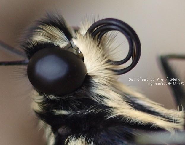 タテハチョウ科やオオスカシバ同様割れる口吻周り。(ナミアゲハ飼育 羽化)