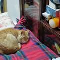 写真: 2011年03月11日の茶トラのボクチン(6歳)