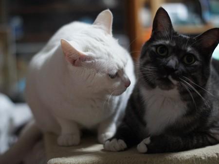 2015年04月07日のシロちゃん(メス2歳弱)とクロちゃん(オス3歳)