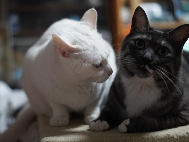写真: 2015年04月07日のシロちゃん(メス2歳弱)とクロちゃん(オス3歳)