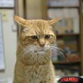 写真: 2012年04月19日の茶トラのボクチン(7歳半)