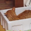 写真: 2009年05月01日の茶トラのボクチン(ほとんど5歳)