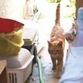 写真: 2009年05月11日の茶トラのボクチン(5歳)