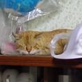 写真: 2012年05月19日の茶トラのボクチン(8歳)