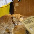 2012年05月31日の茶トラのボクチン(8歳)