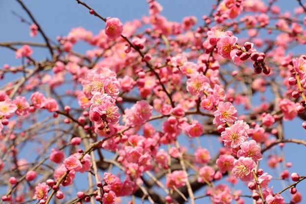 梅 18 -枝垂れ梅*桃
