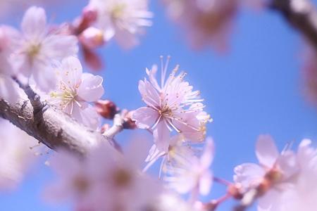 桜花は優しく~~