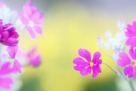 桜草は春の色 ♪♪♪