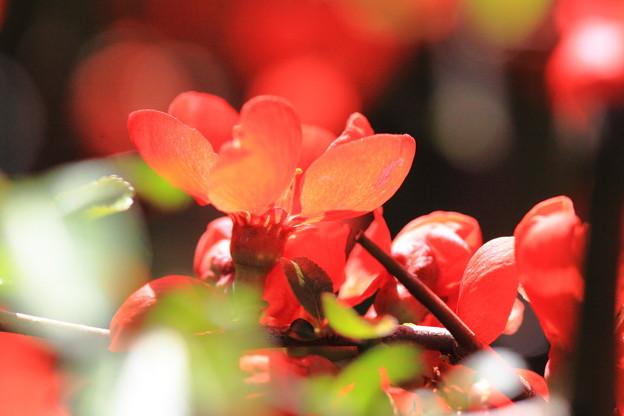 木瓜の花が満開!!!