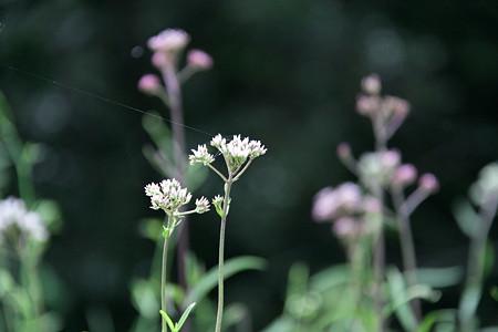 豊田市自然観察の森:サワヒヨドリ(白)