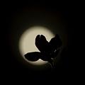 Photos: 月夜桜
