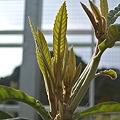 Photos: 房州びわの新しい枝葉