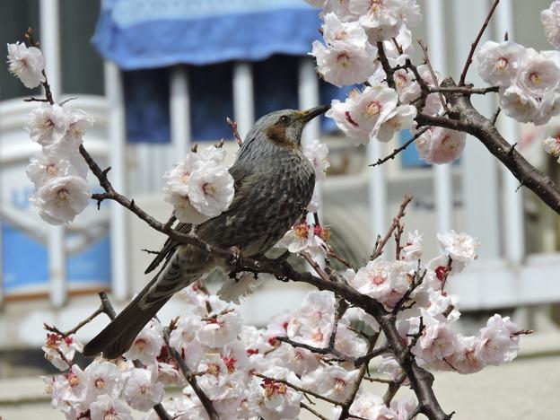 Photos: 白梅とヒヨドリ-2