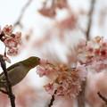 Photos: 念願のメジロちゃん。