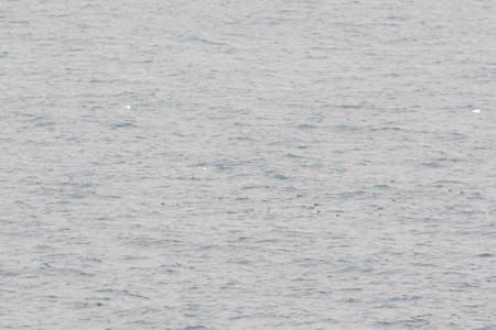沖に浮かぶウトウの群れ