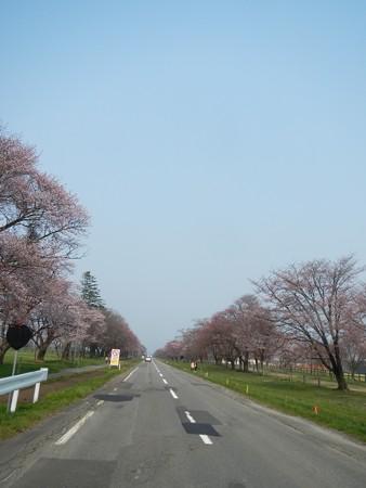 2015,4/28 静内 二十間道路桜並木2
