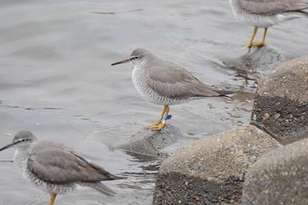 フラッグ付き キアシシギ(沖縄県 沖縄県沖縄市比屋根湿地放鳥(26° 18N/127°49′E)