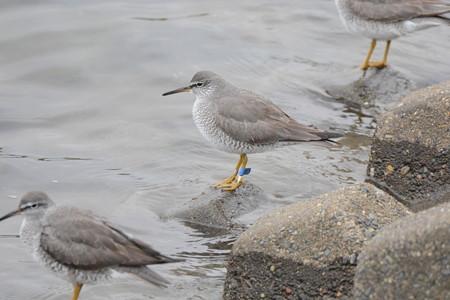 宮城県亘理町の鳥の海放鳥 キアシシギ