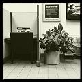 写真: Rubber Plant