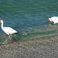 Photos: White Ibises 3-10-15