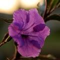 Mexican petunia 3-13-15