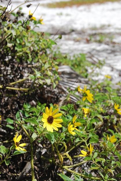 Beach Sunflowers 3-12-15