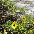 Photos: Beach Sunflowers 3-12-15