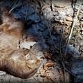 Who Killed American Mink 4-18-15
