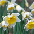 Daffodils I 4-26-15