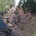 Evening Cherry 5-7-15