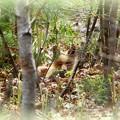 Fox Watching my Camera 5-9-15