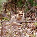 Fox Trying to Relax 5-9-15