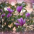 Magnolias 5-13-15